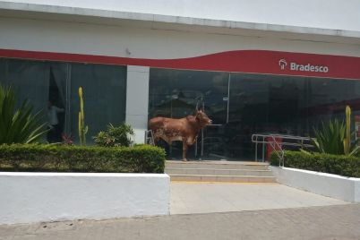 Boi-Gravatá-Pernambuco-Notícias.jpg